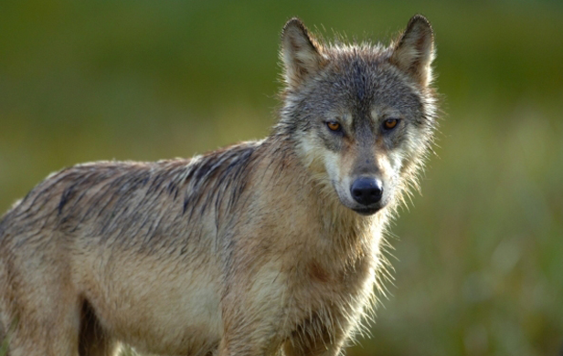 Campbell-Clark Government Goes After Wolves
