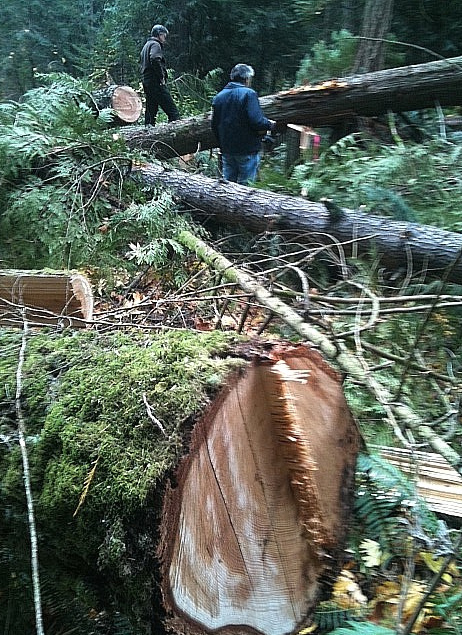 Ancient Douglas Fir grove on the chopping block today