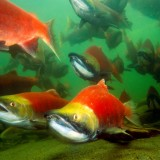 Sockeye and other fish and wildlife are threatened by plans to ship jet fuel through the Fraser River estuary (Land Conservancy photo)