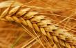 War on Wheat
