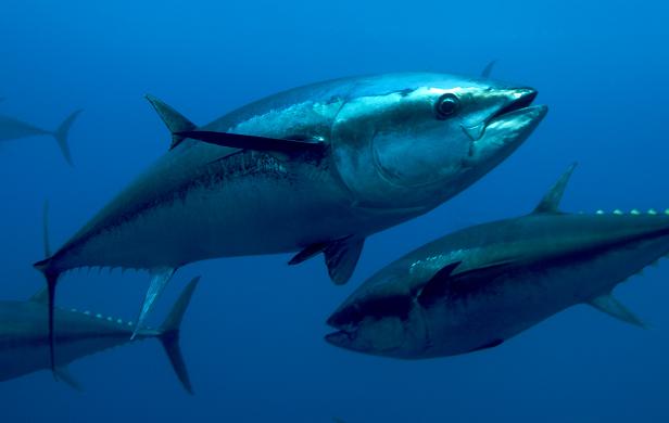 Does Fukushima threaten our health through contaminated fish?