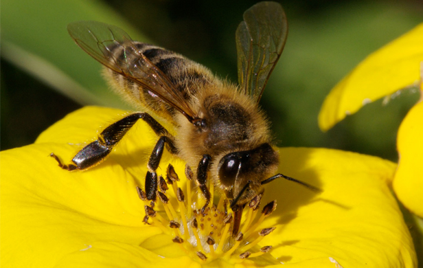 Scientists work to solve mystery of dying bees