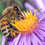 Canada mulls crackdown on pesticide suspected of killing bees