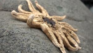 http://newswatch.nationalgeographic.com/2013/09/09/massive-starfish-die-off-baffles-scientists/