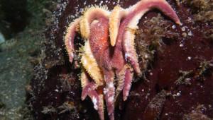 'Alarming' sea star die-off on West Coast