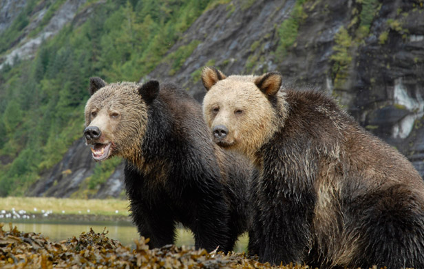 LNG companies change pipeline routes to avoid bear sanctuaries