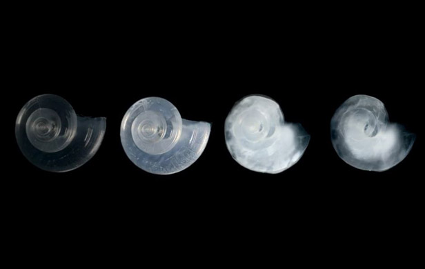 the effects of ocean acidification on various sea creatures Ocean acidification weakens mussels' grip  already adjusting to the fact that acidifying oceans hurt the abilities of sea creatures like oysters to make their shells, is also likely to.