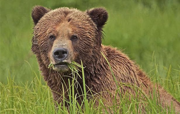 Conservation is good business, new bear study reminds us