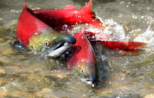 Harper guts more fish protections neb takes over habitat for Fish on energy