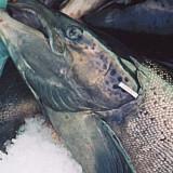 Salmon farms get tax dollars for diseased, dead fish, provide few jobs