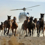 Alberta-wild-horse-round-up-tramples-on-cowboy-culture