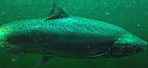 Chinook salmon are a key part of orcas' diet