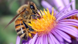 Healthy Newfoundland bees may help solve mystery of global collapse