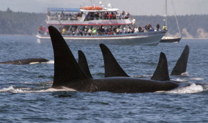 Whale watchers must maintain a safe distance and turn off motors