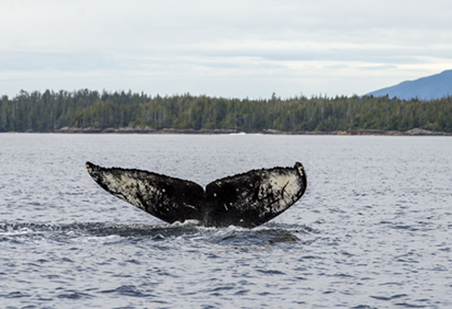 Humpback whale swimming near Bella Bella fuel spill (Photo: Tavish Campbell)