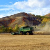 Peterson Farm wheat harvest - 1990s (courtesy of Lynda & Larry Peterson)