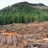 BC Liberal Govt. Mulls Logging Old Growth Forests