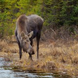 A cow moose drinks from a pond. Another important water source for moose, mineral springs, are drying up. (photo: wikimedia commons)