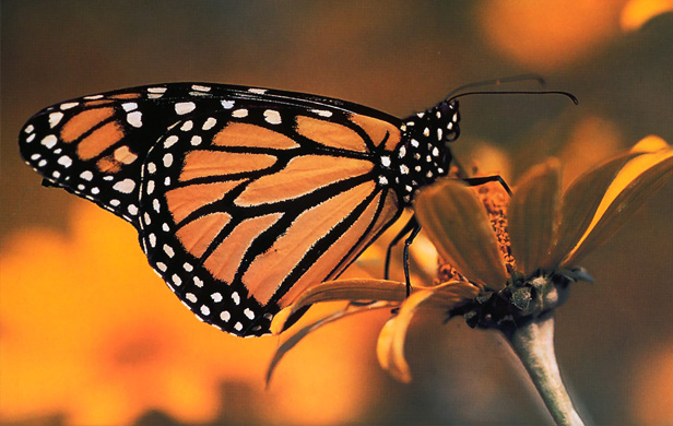 Monarch Butterflies in free-fall-How you can help