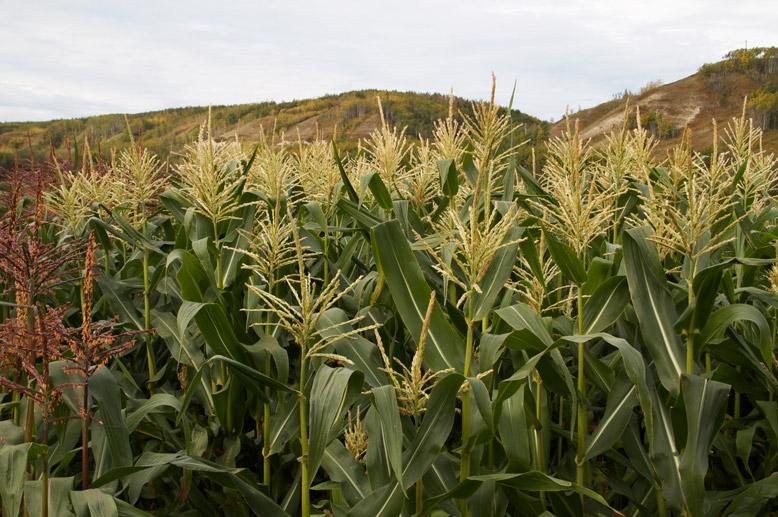 Peace corn