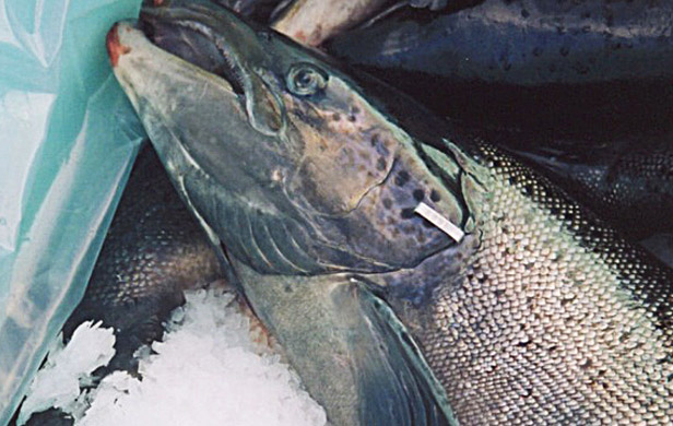 Salmon farms get tax dollars for dead fish, provide few jobs