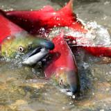 Banner Salmon Year 2014