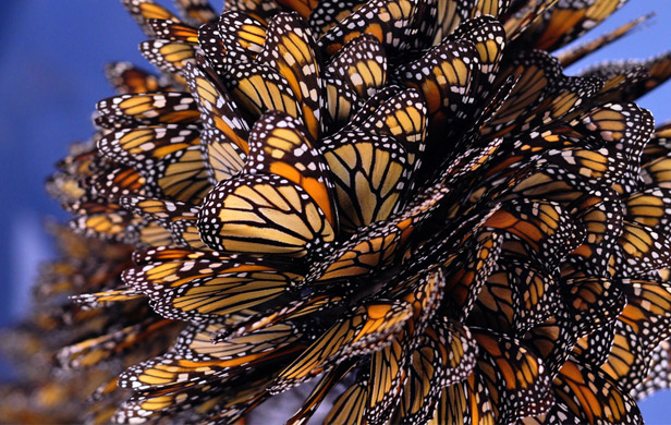 Disappearing Monarch butterflies need citizen scientists' help