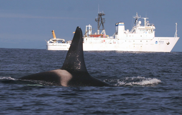 Orcas face triple threat - Vessel noise, pollution, lack of food