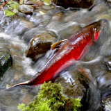 Tide may be turning on farms destroying salmon habitat
