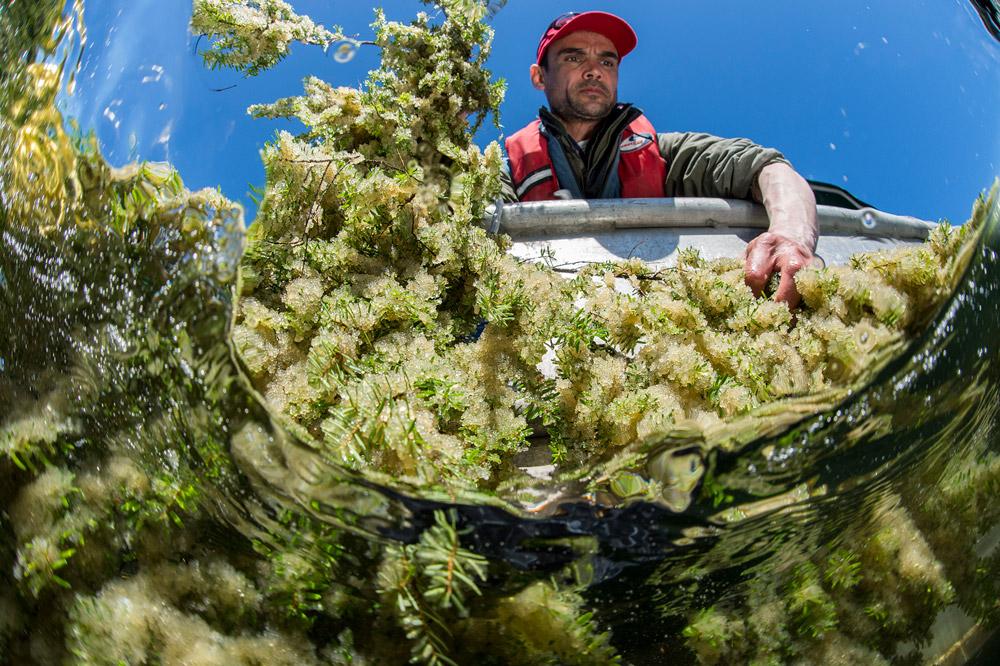 "Heiltsuk fisherman Jordan Wilson reels some unique ""spawn on bough"" roe (Ian McAllister)"
