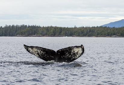 Humpback whale swimming near Bella Bella fuel spill (Photo: Tavish Campbell)